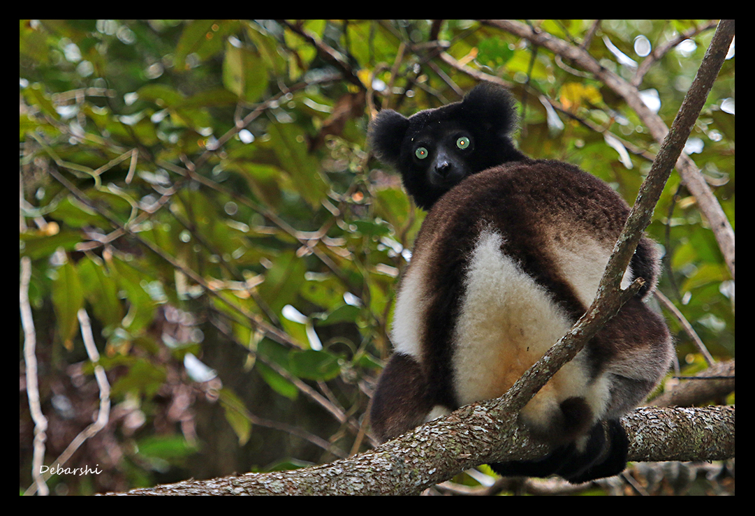 Black Indri in Mantadia