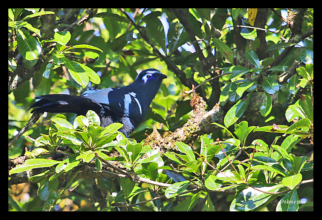 Blue Coua in Andasibe