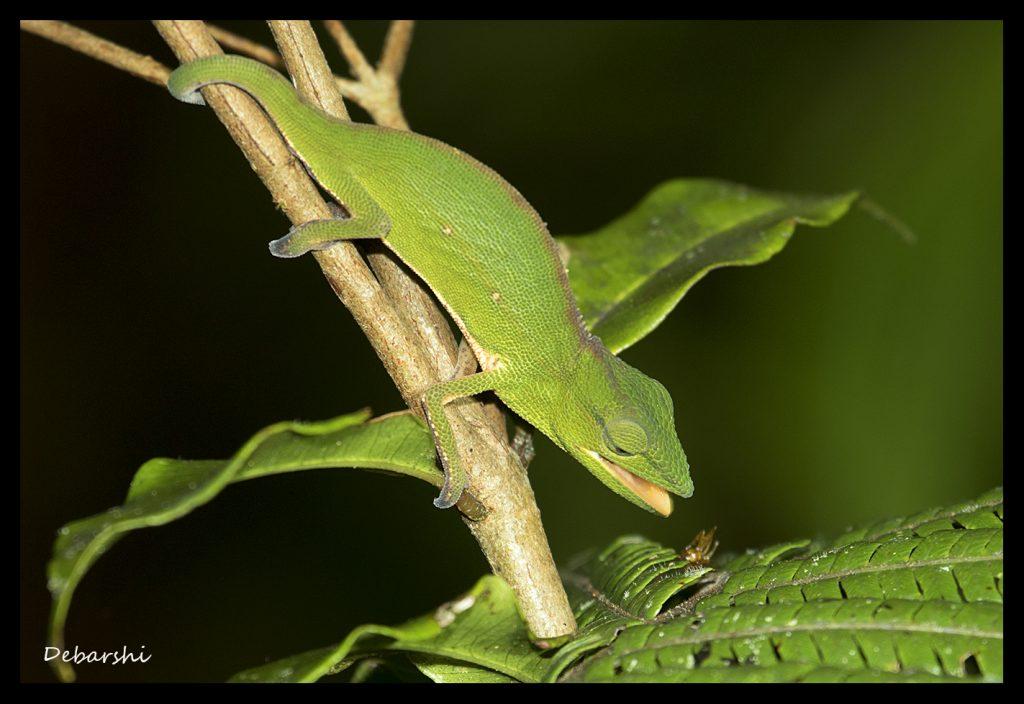 Perinet Chameleon in Andasibe