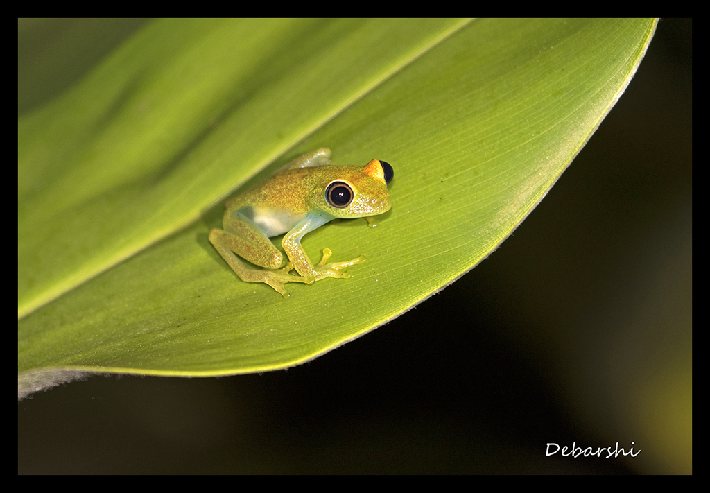 Boophis Frog in Andasibe