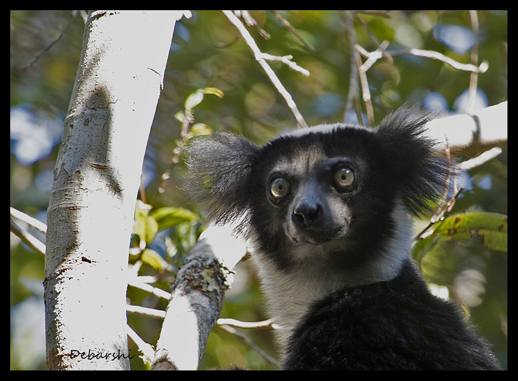 Indri in Andasibe