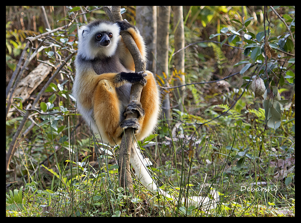 Diademed Sifaka in Andasibe