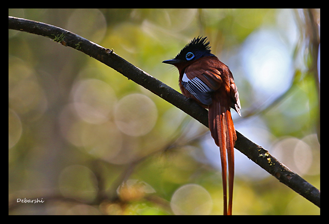 Malagasy Paradise Flycatcher in Andasibe