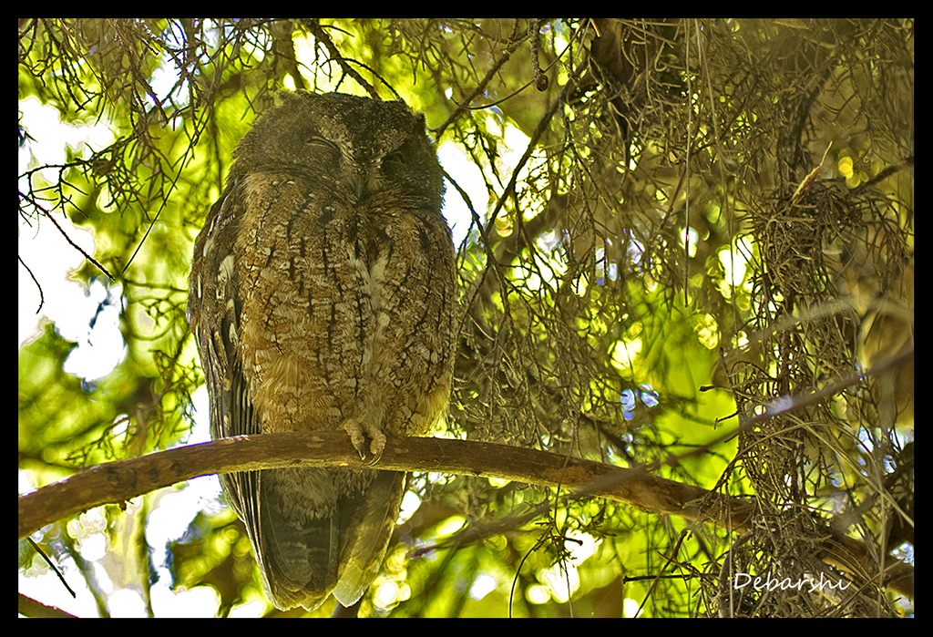 Scops Owl in Andasibe