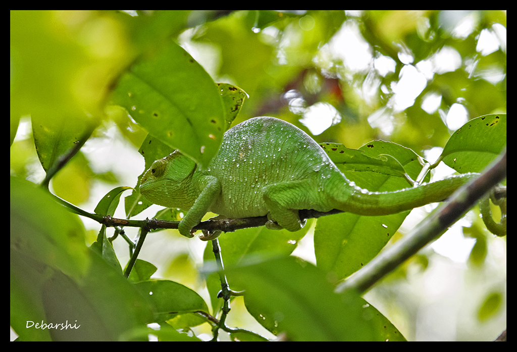 Parson's Chameleon in Andasibe - World's Largest Chameleon Species