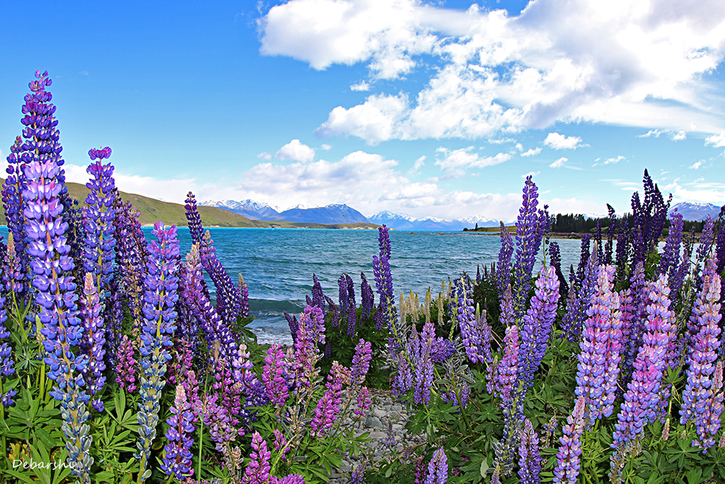 Russell Lupine Blooms in Lake Tekapo