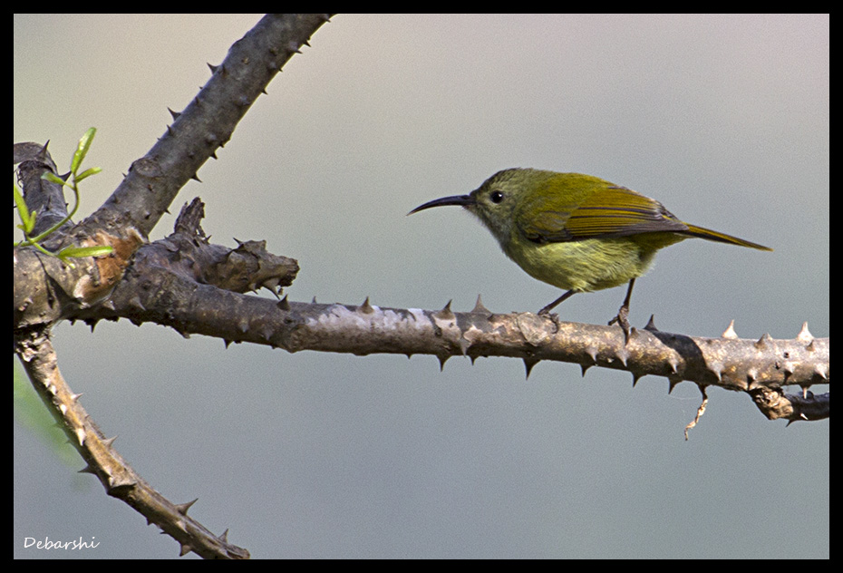 Female Green- Tailed Sunbird in Bhutan