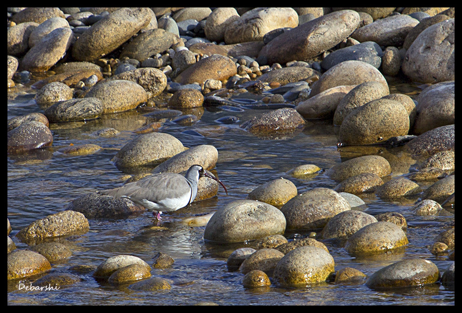 Very rare Ibisbill in Bumthang Valley