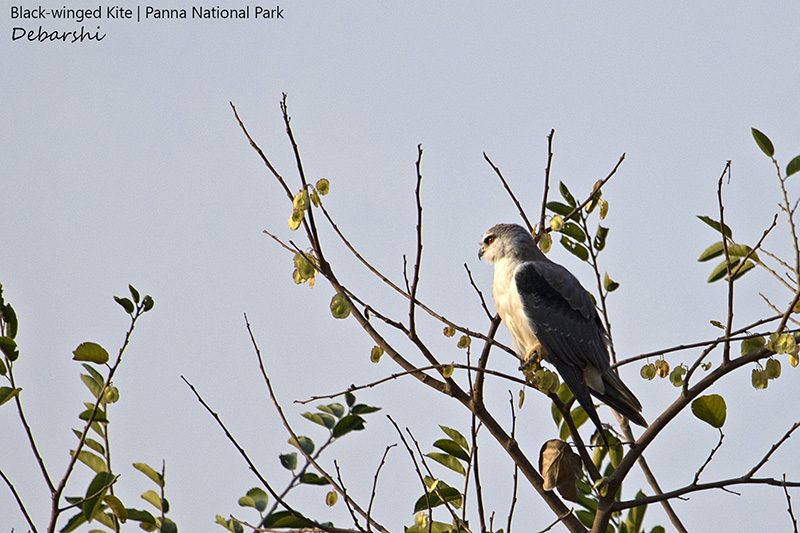 Black Winged Kite in Panna National Park