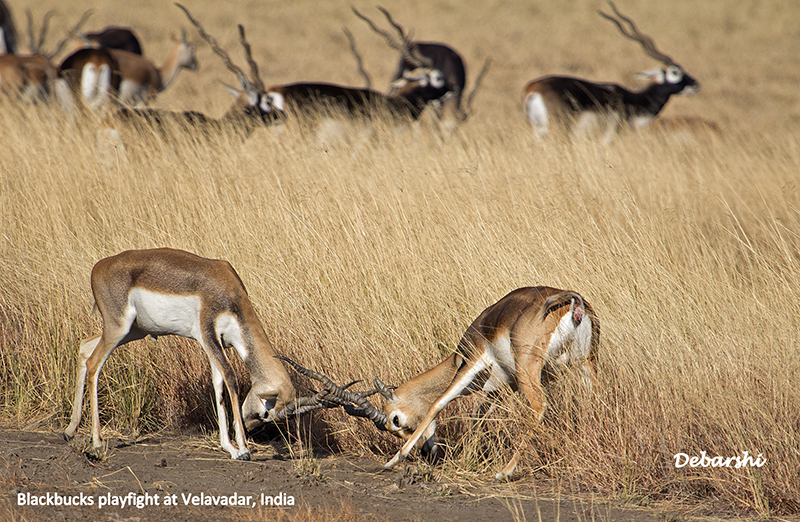 Two female blackbucks playfight with males in the backdrop