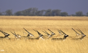 Blackbuck National Park at Velavadar