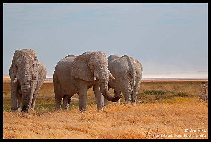 Bull Elephants in Okerfontein Etosha National Park