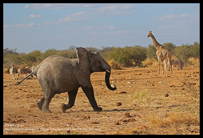 Baby Elephant running to its mother Etosha National Park