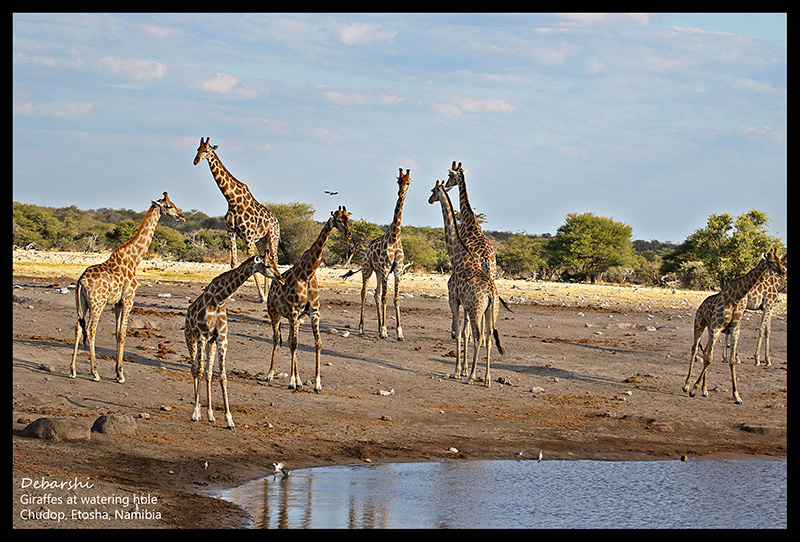 Giraffes at Chudob Watering Hole at Etosha National Park