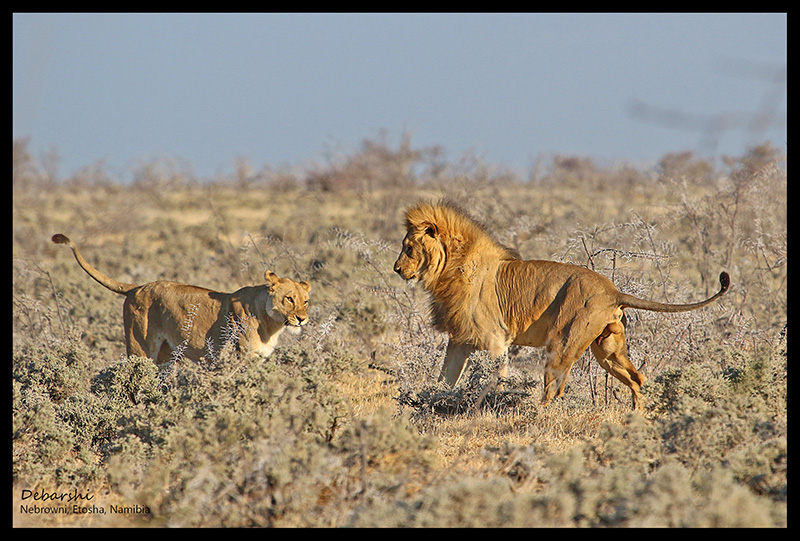 Lion walking to his lioness at Etosha National Park