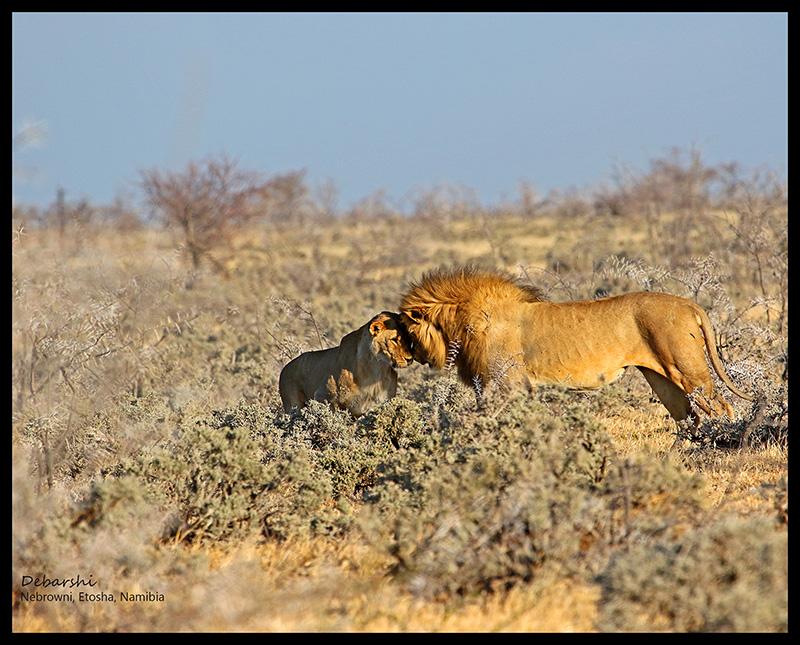 Etosha Lion & Lioness at Etosha National Park
