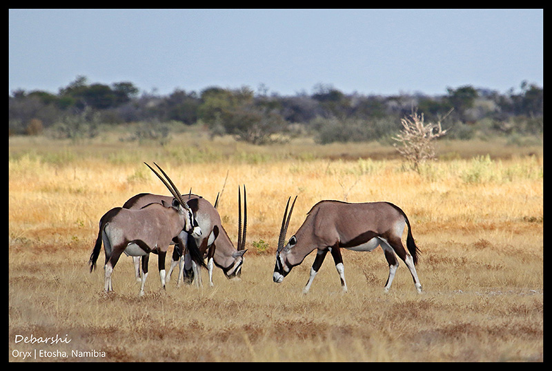 Gemsbok or Oryx at Etosha National Park