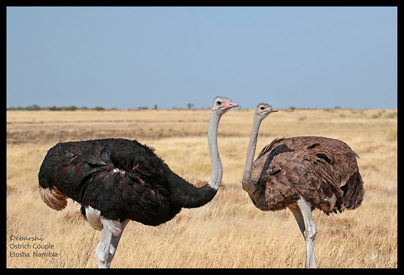 An Ostrich Pair at Etosha National Park