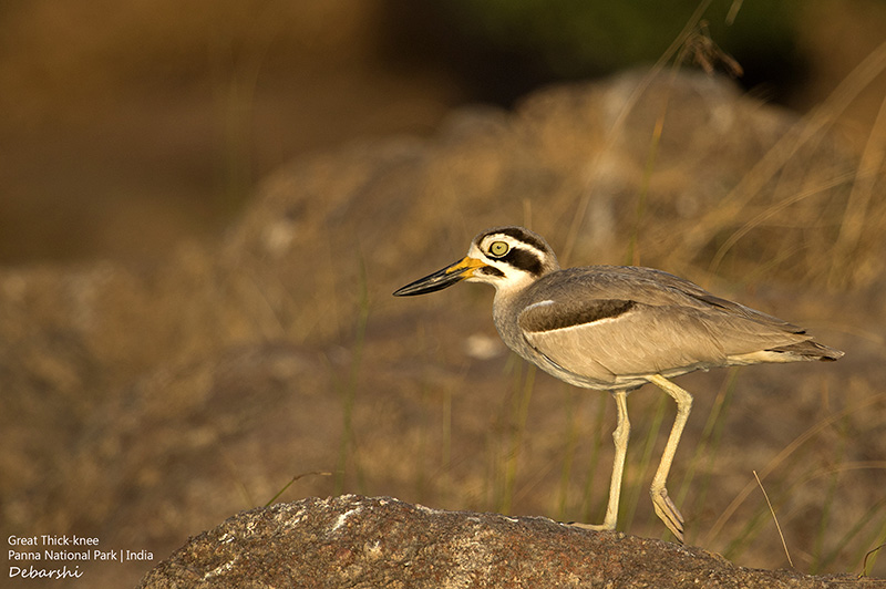 Great Thick-Knee in Ken River
