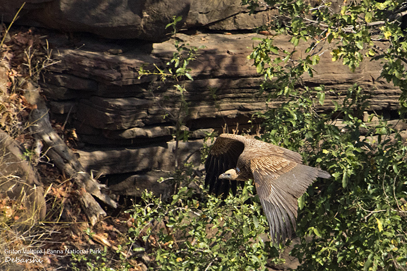 Griffon Vulture in Panna