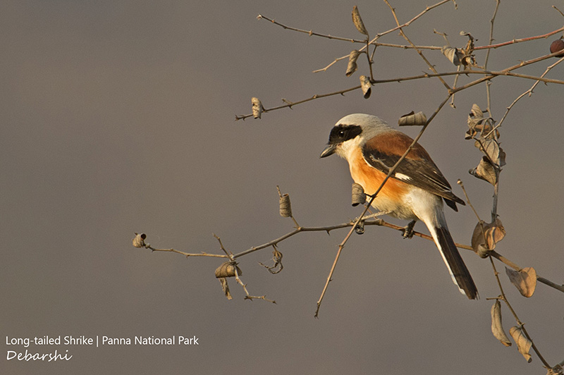 Long-tailed Shrike in Panna National Park