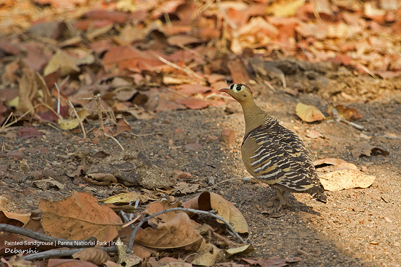 Male Painted Sandgrouse in Panna National Park
