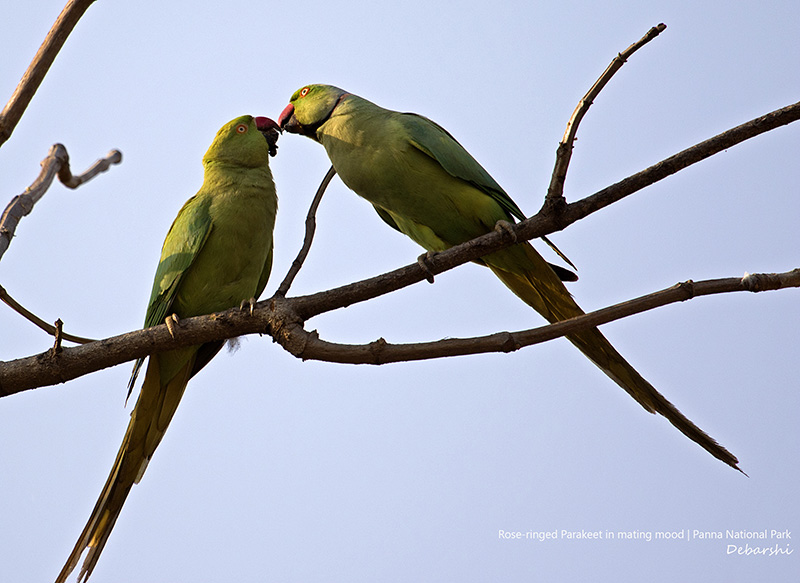 Mating Rose-ringed Parakeets