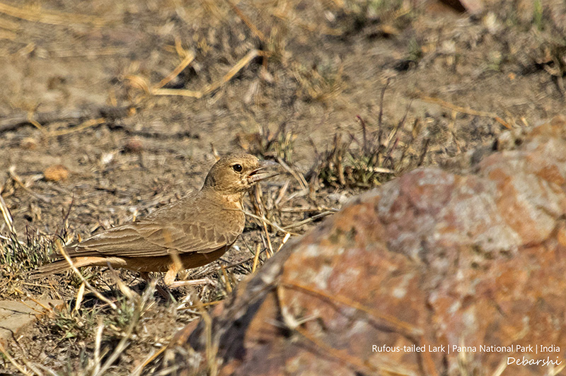Rufous Tailed Lark in Panna National Park