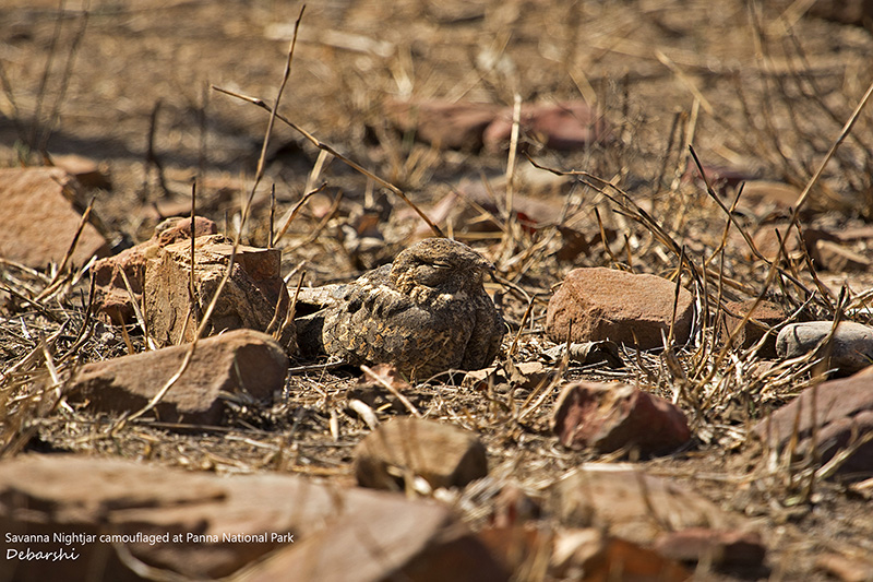Camoulaged Savanna Nightjar at Panna National Park