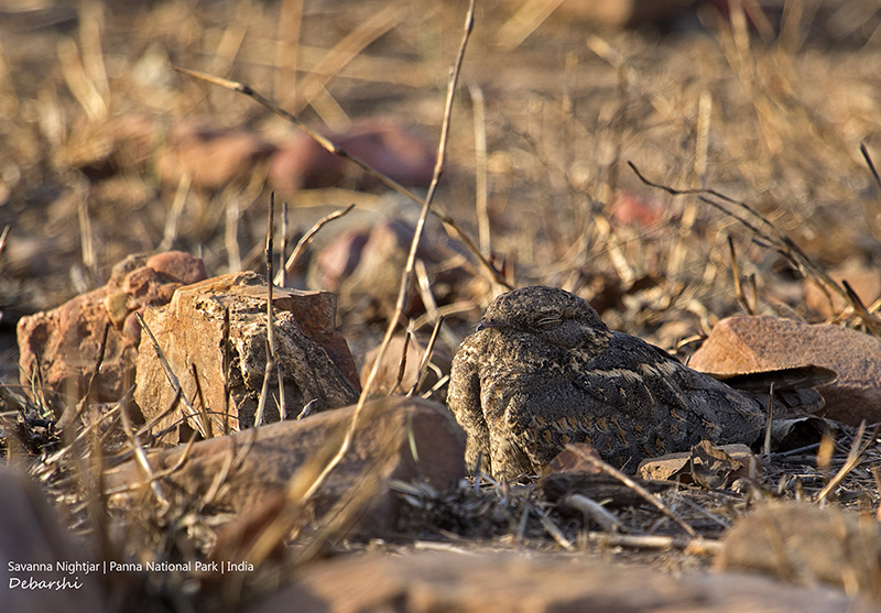 Savanna Nightjar in Camouflage in Broad Daylight