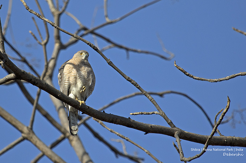Shikra , one of the raptor birds found in Panna National Park