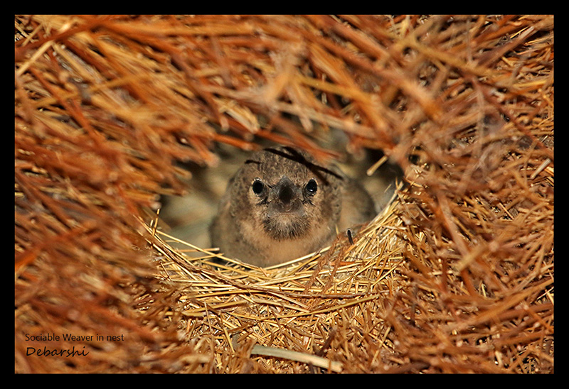 Sociable Weaver peeking out from its nest