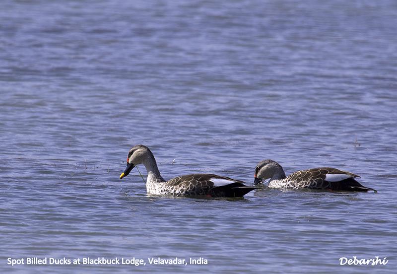Spot Billed Duck migrates in Winter