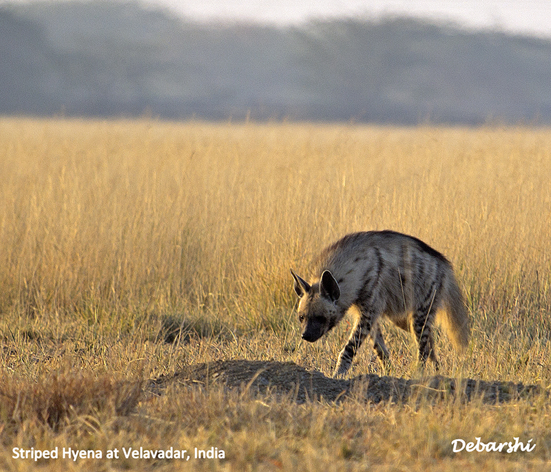 Striped Hyena at Blackbuck National Park