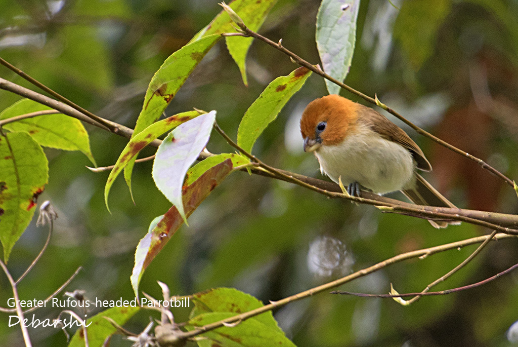 Greater Rufous-headed Parrotbill Eaglenest Wildlife Sanctuary