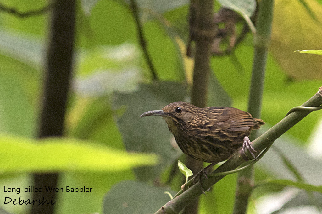 Long-billed Wren Babbler Eaglenest Wildlife Sanctuary
