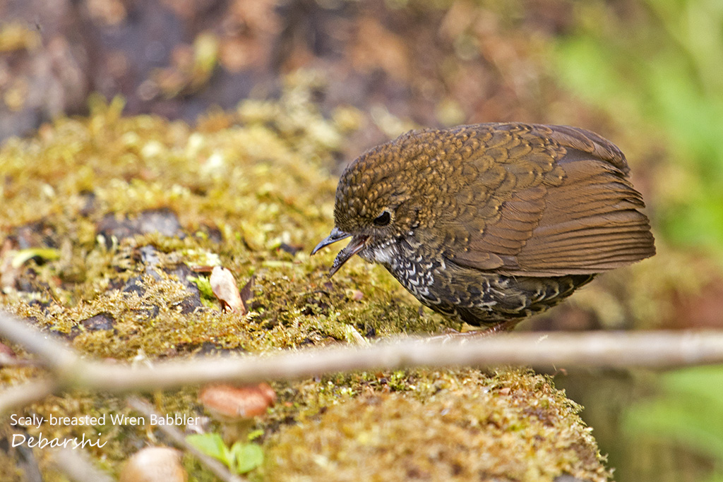 Scaly-breasted Wren Babbler Eaglenest Wildlife Sanctuary