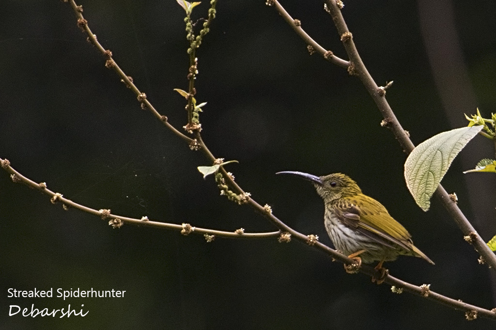 Streaked Spiderhunter Eaglenest Wildlife Sanctuary
