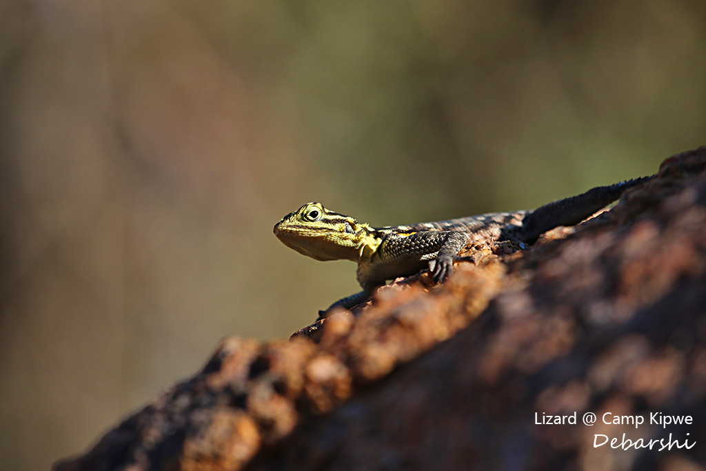 Lizard at Camp Kipwe