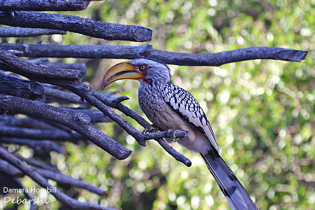 Damara Hornbill at Damaraland