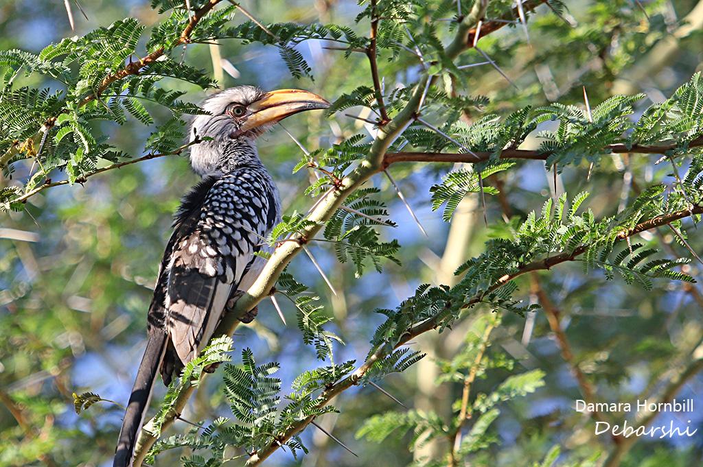 Damara Hornbill in Twyfelfontein