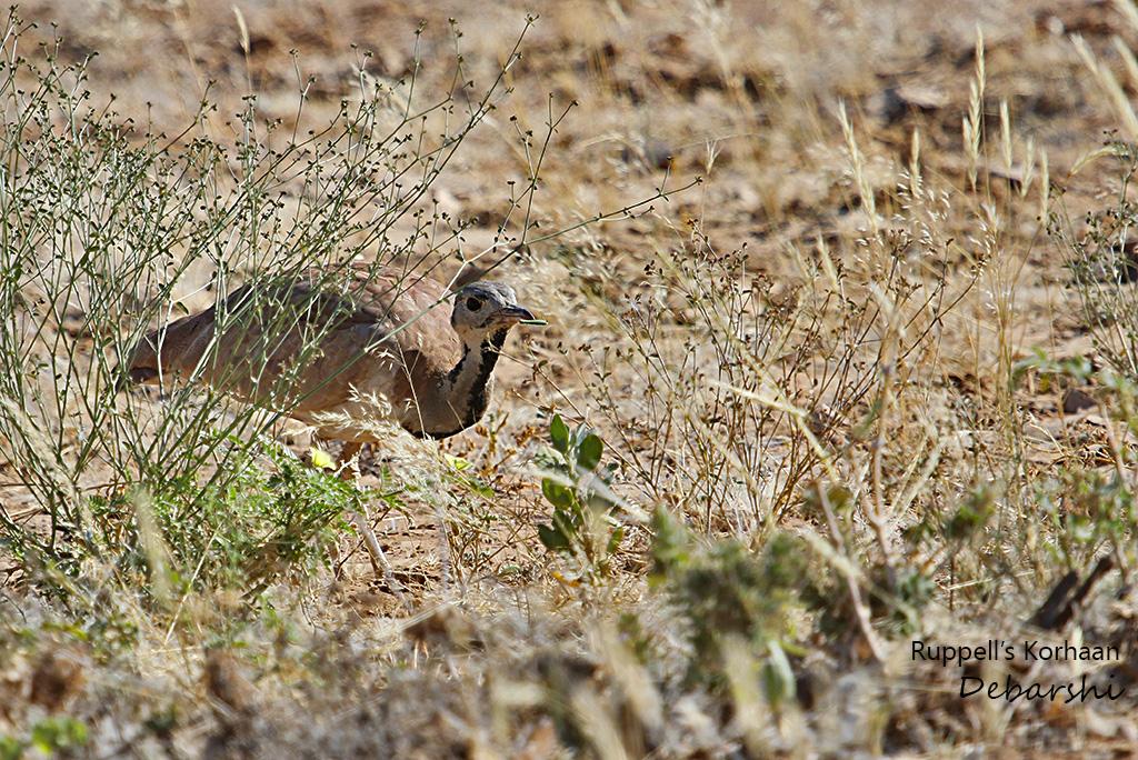 Ruppell's Korhaan in Twyfelfontein