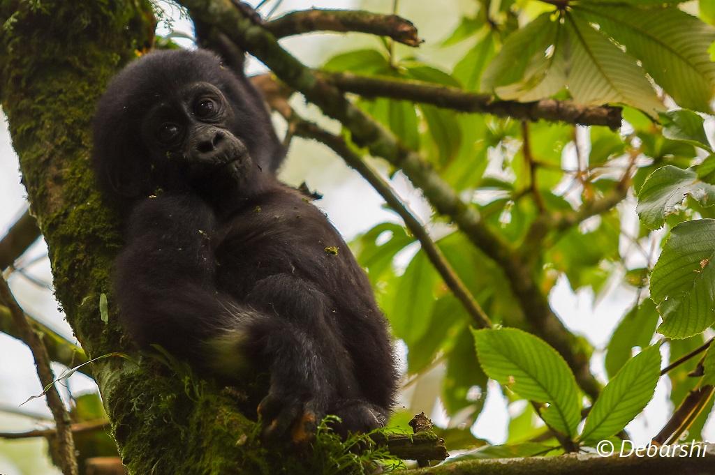 Baby Gorilla Gorodi