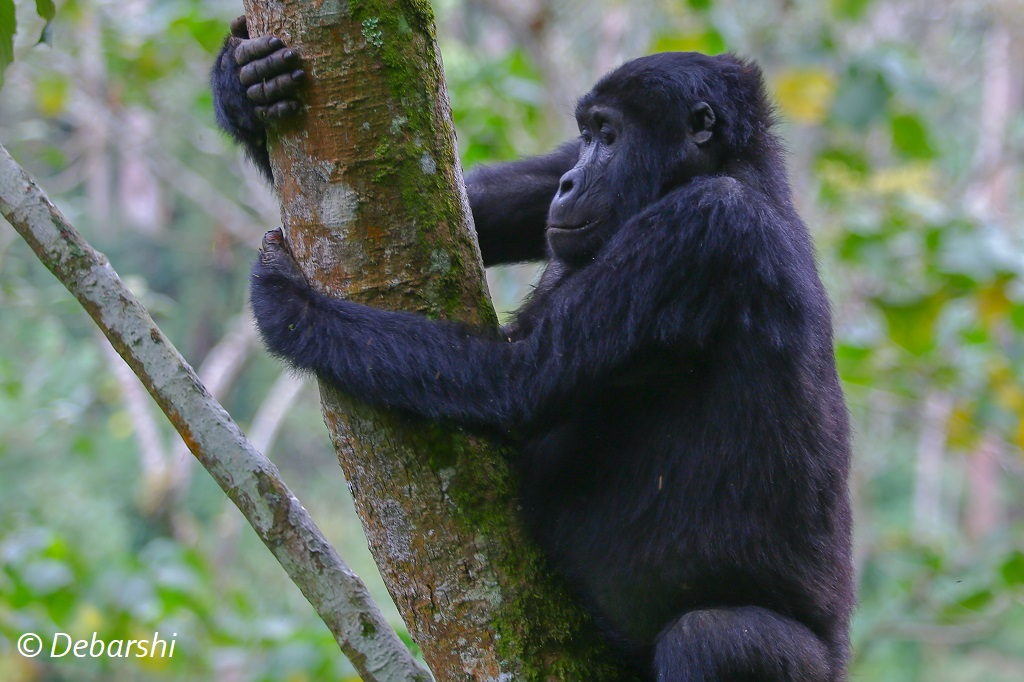 Adult Female Gorilla