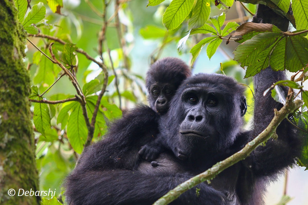 Adult female with baby gorilla