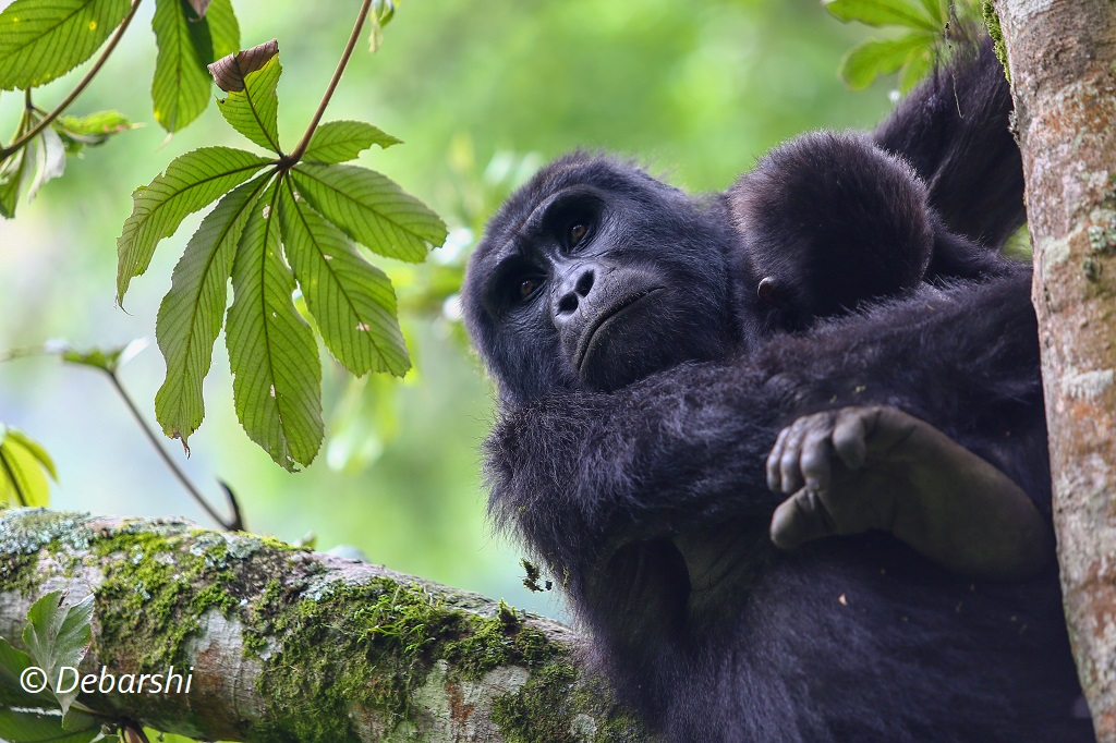 Adult female gorilla resting with baby