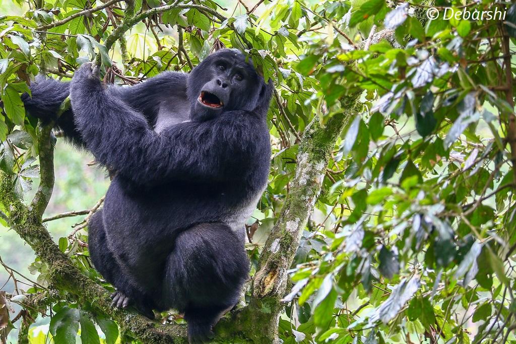 Mukiza Silverback Gorilla
