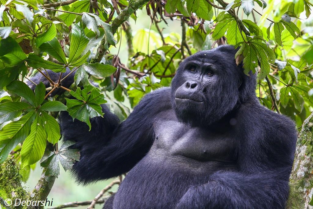 Adult male Silverback Gorilla Mukiza