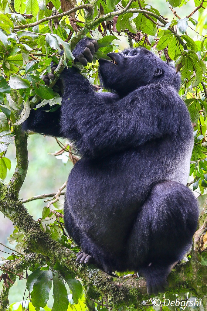 Adult male silverback Mukiza feeding