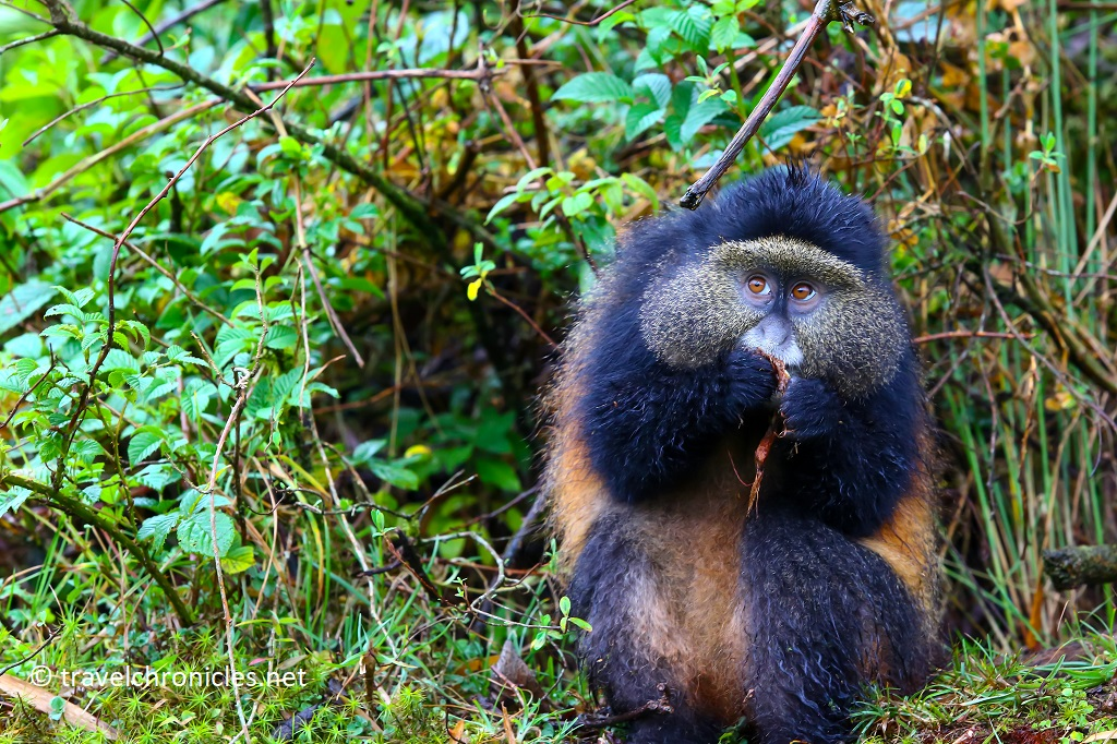 Golden Monkey in Volcanoes National Park Rwanda